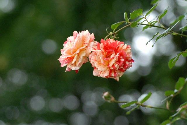 真夏のバラ2  八戸植物公園_c0027027_23375782.jpg