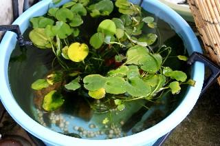 金魚鉢の水の入れ替え_e0166355_11342069.jpg