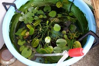 金魚鉢の水の入れ替え_e0166355_1134748.jpg