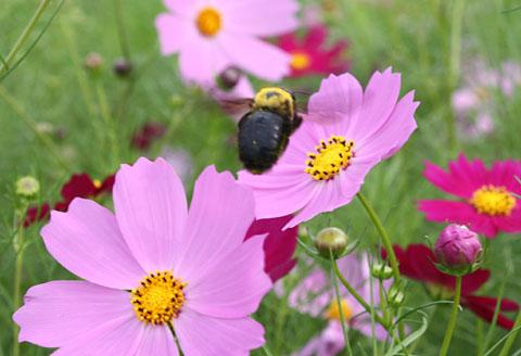 ハチとコスモス すっかり秋ですね_b0114798_190217.jpg