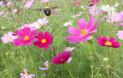 ハチとコスモス すっかり秋ですね_b0114798_6495928.jpg