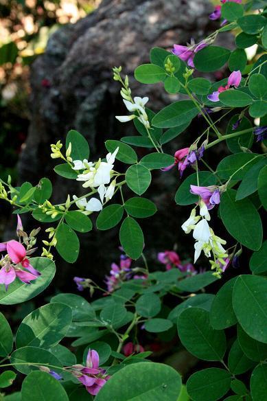 萩の白い花_a0107574_17141099.jpg