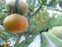 柿の収穫がまもなく。_f0018099_8162692.jpg
