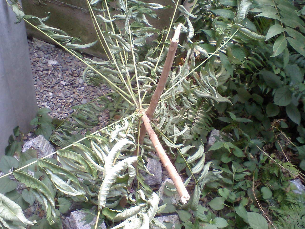 三年前に植えた香椿が誰か折った!悲しい!_d0027795_13263359.jpg