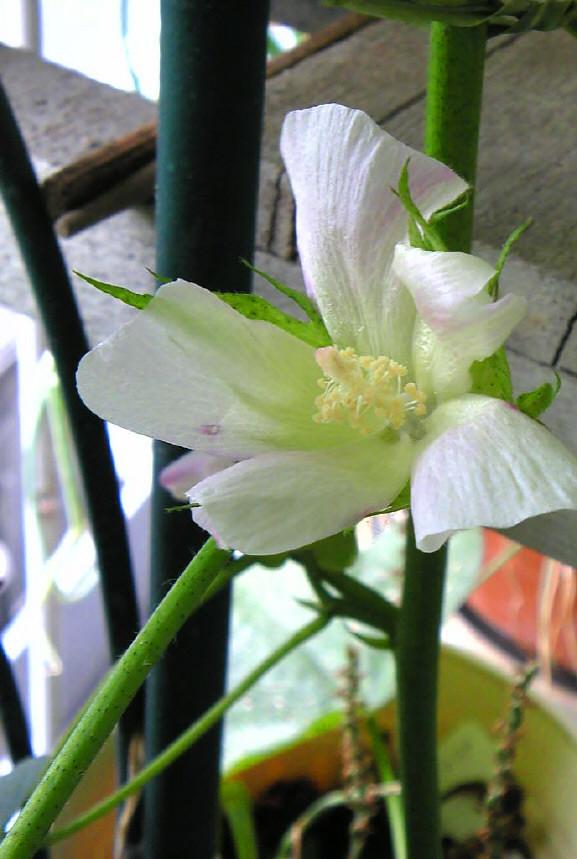 咲きました。_e0116563_11474666.jpg
