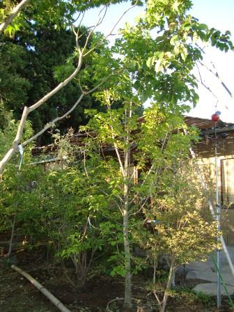 真っ赤に紅葉する樹_d0152765_1116461.jpg