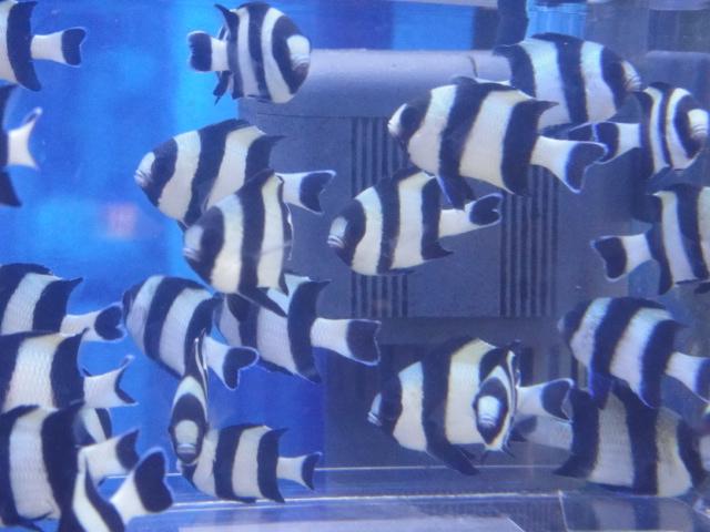 海水魚・サンゴ・水草・日本産淡水魚_f0189122_14275529.jpg