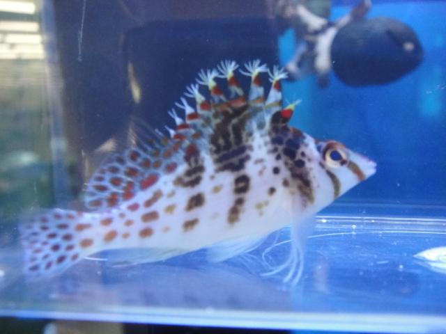 海水魚・サンゴ・水草・日本産淡水魚_f0189122_14301683.jpg