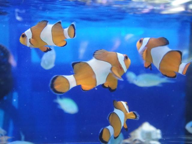 海水魚・サンゴ・水草・日本産淡水魚_f0189122_14565118.jpg