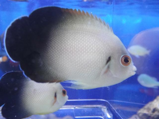 海水魚・サンゴ・水草・日本産淡水魚_f0189122_1773324.jpg