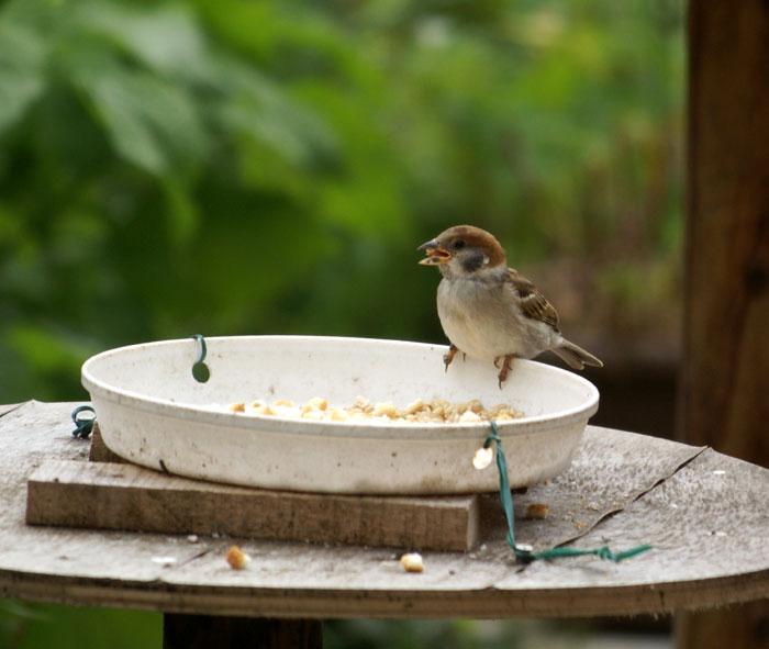 このごろの雀と、餌台の中身をちょこっと♪_a0136293_13465379.jpg