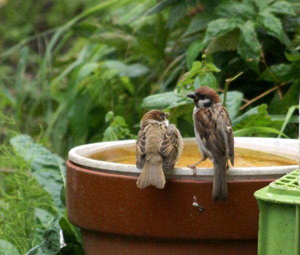 このごろの雀と、餌台の中身をちょこっと♪_a0136293_1353947.jpg