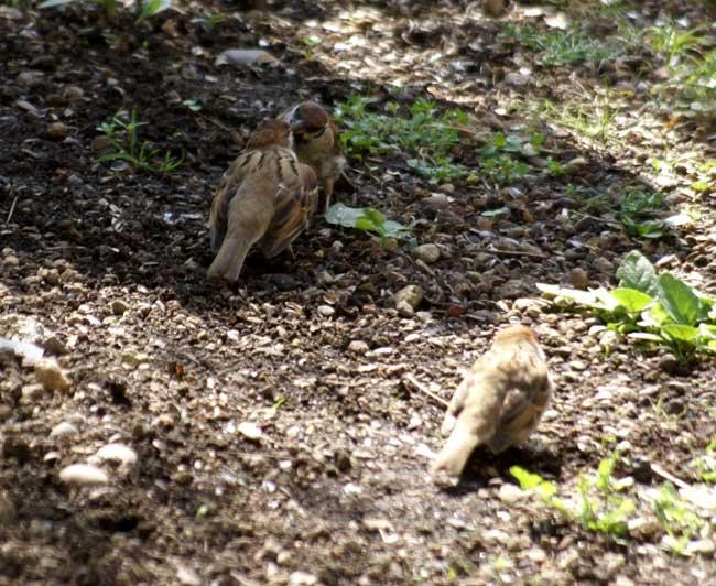 このごろの雀と、餌台の中身をちょこっと♪_a0136293_1354468.jpg