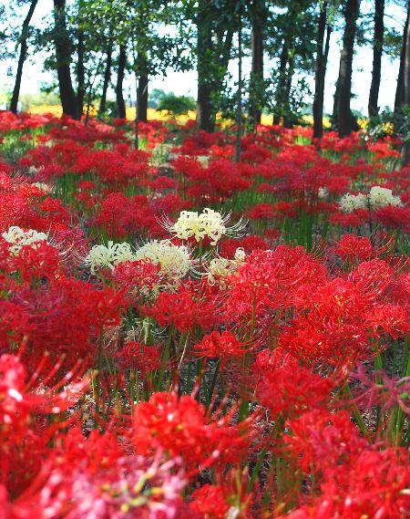 秋を告げる 早川渕の彼岸花_c0177814_1736297.jpg