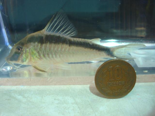 熱帯魚・金魚・水草_f0189122_1529488.jpg