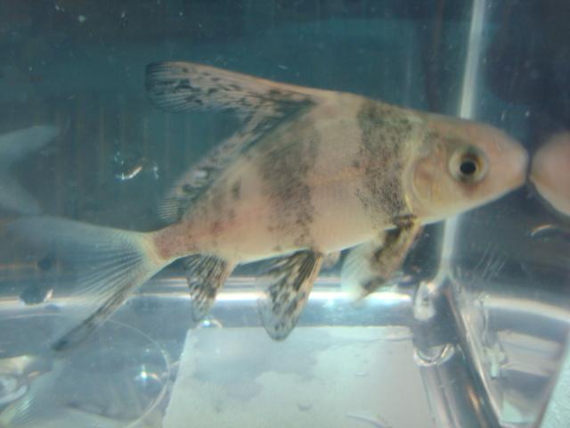 熱帯魚・金魚・水草_f0189122_15321576.jpg