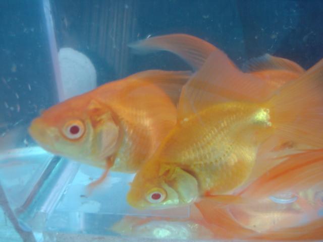 熱帯魚・金魚・水草_f0189122_1536529.jpg