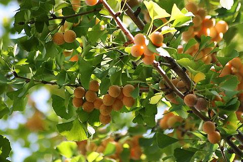 木の実色々と、ケイトウ、ヒガンバナ_f0030085_21285445.jpg