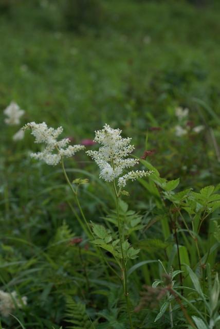 湯ノ沢峠の花たち18 ハナチダケサシ  _c0027027_129276.jpg