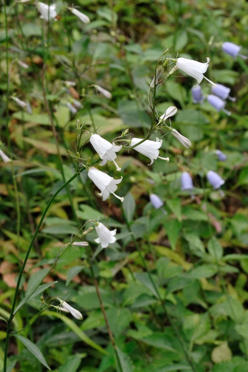 白花のツリガネニンジン_c0129047_22132119.jpg