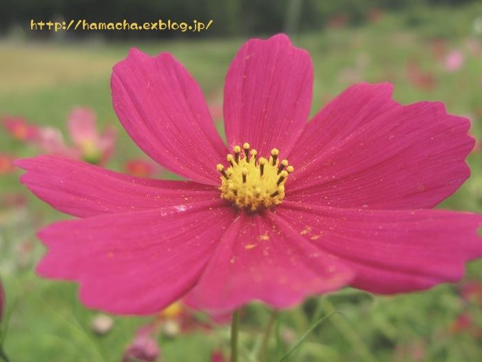 Cosmos_c0158775_20421083.jpg