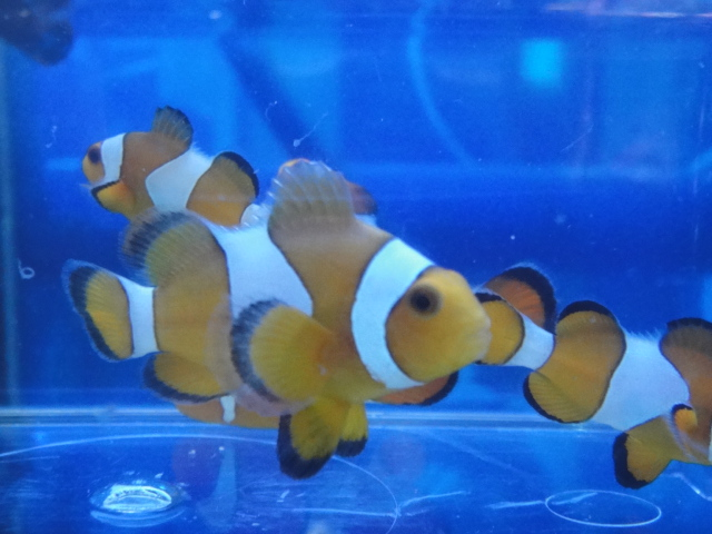 海水魚・サンゴ・水草・日本産淡水魚_f0189122_1383218.jpg