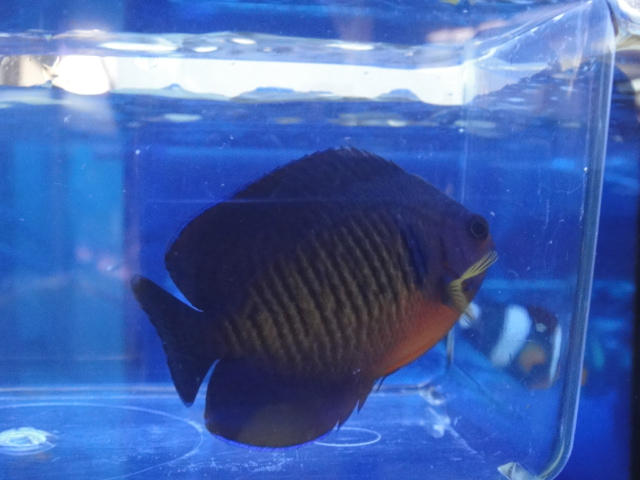 海水魚・サンゴ・水草・日本産淡水魚_f0189122_1392689.jpg