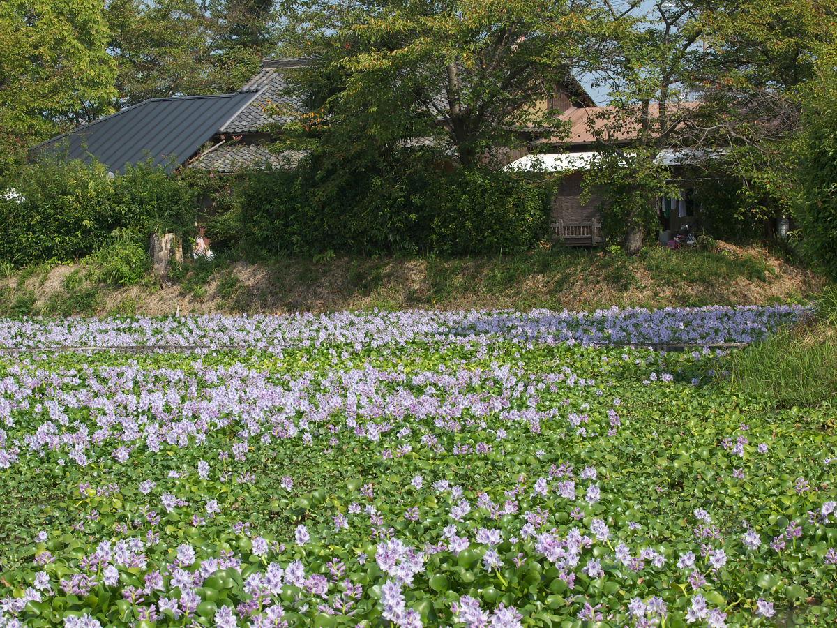 奈良 オフ会 ホテイアオイ 5_f0021869_3395744.jpg