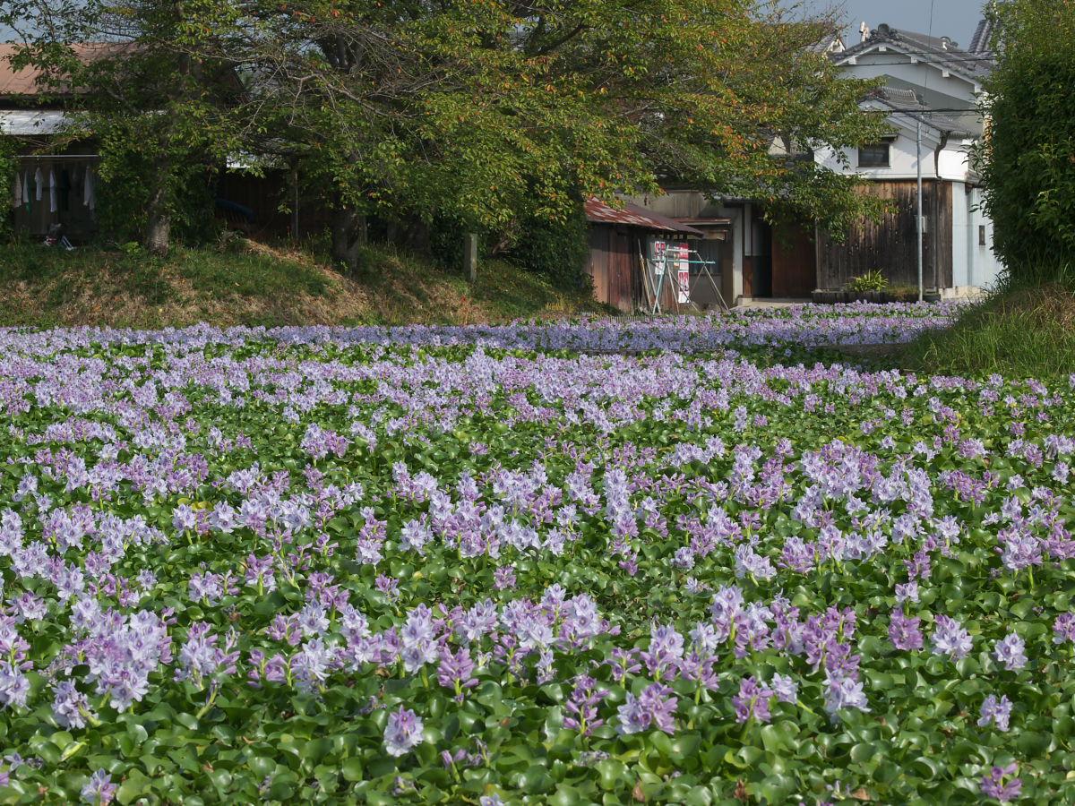 奈良 オフ会 ホテイアオイ 5_f0021869_3472427.jpg