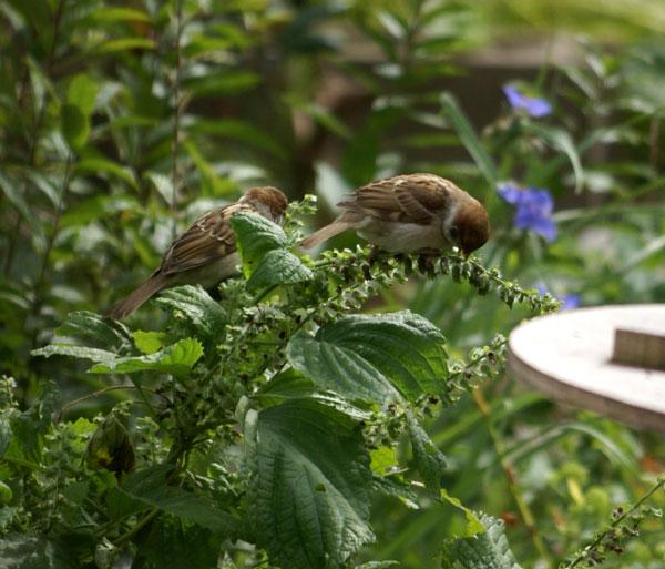 雀はシソの実が好き?_a0136293_14372974.jpg