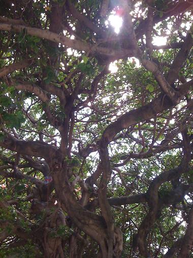那覇市役所前のガジュマルの大木