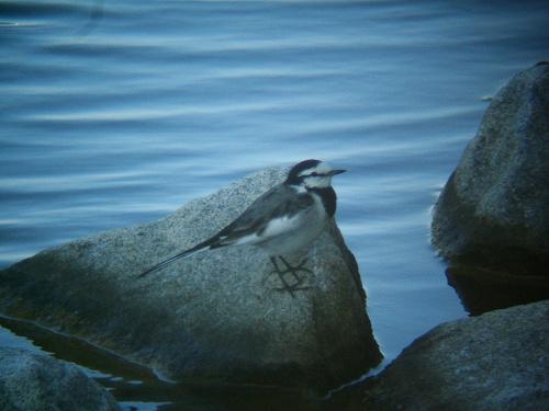 谷津干潟にいた鳥たち その2(ハクセキレイ、キアシシギ、スズメ)_e0089232_19391538.jpg