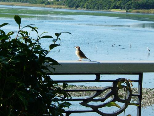 谷津干潟にいた鳥たち その2(ハクセキレイ、キアシシギ、スズメ)_e0089232_19395213.jpg