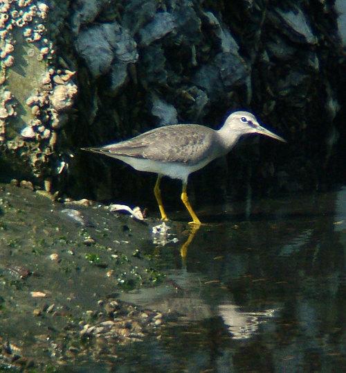 谷津干潟にいた鳥たち その2(ハクセキレイ、キアシシギ、スズメ)_e0089232_19402020.jpg