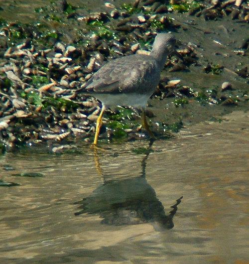 谷津干潟にいた鳥たち その2(ハクセキレイ、キアシシギ、スズメ)_e0089232_1940813.jpg