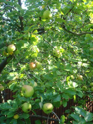 秋の実りのりんご狩り_e0114020_523335.jpg