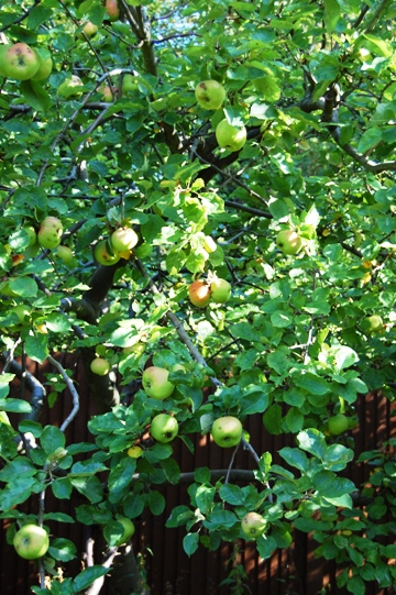 リンゴ狩りへレッツゴー!_d0104926_5135958.jpg