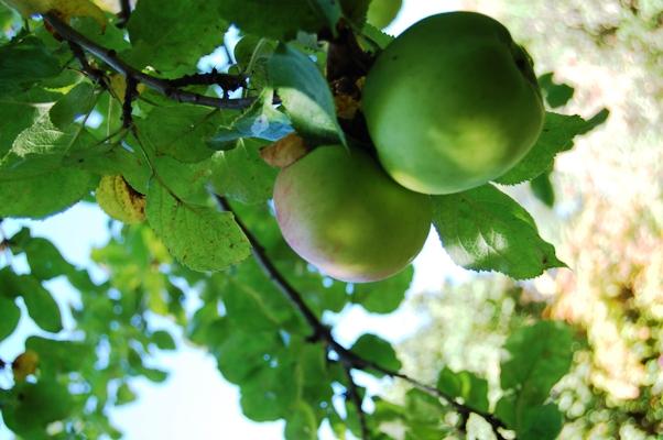 リンゴ狩りへレッツゴー!_d0104926_517373.jpg