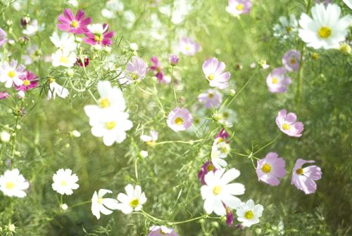 秋桜_c0110248_10544640.jpg