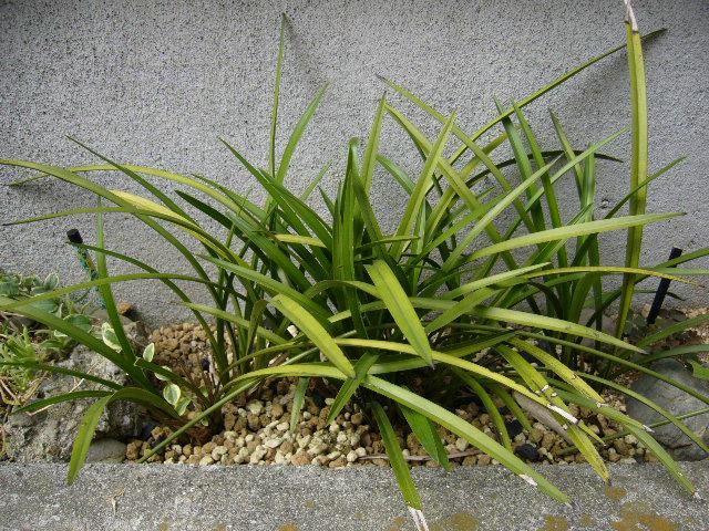 庭の中国蘭_d0000324_13302774.jpg