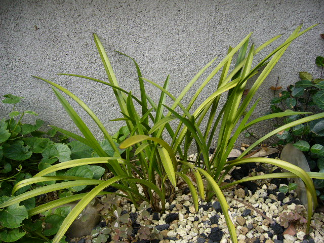 庭の中国蘭_d0000324_13304083.jpg