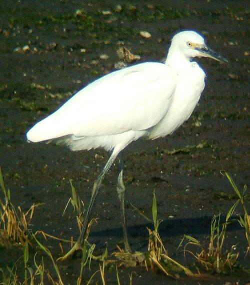 谷津干潟にいた鳥たち その5(コサギ)_e0089232_8223357.jpg