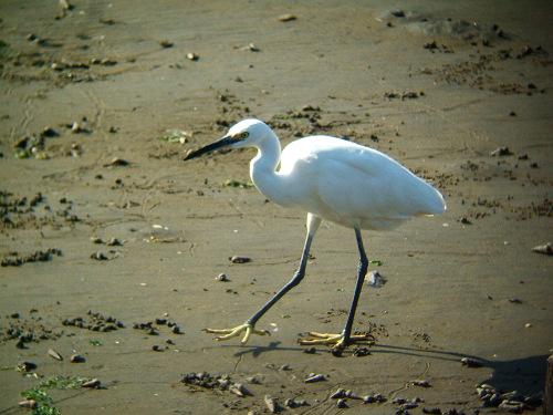 谷津干潟にいた鳥たち その5(コサギ)_e0089232_8225929.jpg