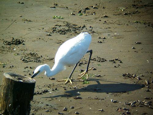 谷津干潟にいた鳥たち その5(コサギ)_e0089232_8232572.jpg