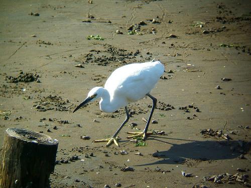 谷津干潟にいた鳥たち その5(コサギ)_e0089232_8232915.jpg