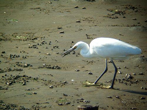 谷津干潟にいた鳥たち その5(コサギ)_e0089232_823421.jpg