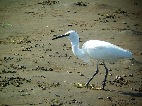 谷津干潟にいた鳥たち その5(コサギ)_e0089232_8234215.jpg