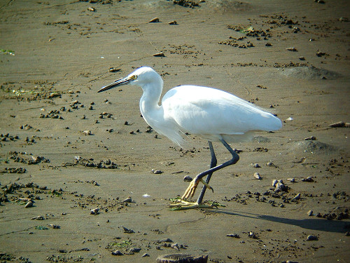 谷津干潟にいた鳥たち その5(コサギ)_e0089232_8235917.jpg
