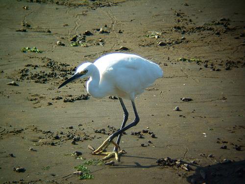 谷津干潟にいた鳥たち その5(コサギ)_e0089232_82399.jpg