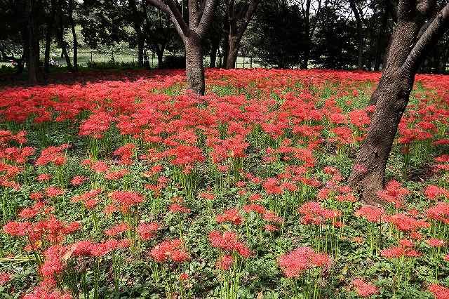 野川公園の彼岸花_f0044056_14544051.jpg
